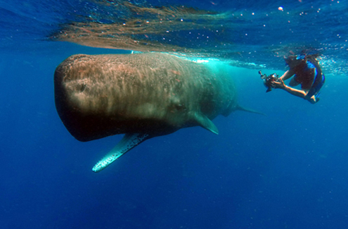 Into the Blue: Swimming with and Photographing Sperm Whales